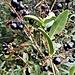 Ligustrum vulgare L.<br />Oleaceae<br /><br />Ligustro comune<br />Troène vulgaire<br />Rainweide, Gemeiner Liguster