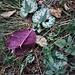 Cyclamen purpurascens Mill.<br />Primulaceae<br /><br />Ciclamino delle Alpi<br />Cyclamen d'Europe<br />Europäisches Alpenveilchen, Gemeine Zyklame, Erdscheibe