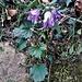 Campanula trachelium L.<br />Campanulaceae<br /><br />Campanula selvatica, Imbutini<br />Campanule gantelée<br />Nesselblättrige Glockenblume