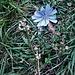 Cichorium intybus L.<br />Asteraceae<br /><br />Cicoria comune, Radicchio<br />Chicorée sauvage<br />Wegwarte, Zichorie