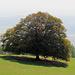 Ein wunderschöner Baum auf dem Oensinger Roggen.