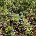 Diese Wacholder-Beeren sind sooo fein!