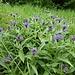 ... und ein Feld der Flockenblumen