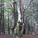 an diesem Baum links abbiegen - man erkennt schon die rötliche Markierung, die einen bis ins Tal leiten kann