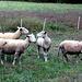vier Schafe