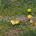 Auch er flog noch: der Postillon (Colias crocea)