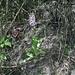Purpur-Knabenkraut (Orchis purpurea) auf dem Puy de Chanturgue
