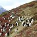 En dessus de Chrindellicka, troupeau de chèvres à col noir du Valais (Walliser Schwarzhalsziege). Il n'existe que 3000 individus de cette race.