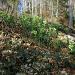 Eichlenberg S-flanke, Helleborus viridis.