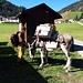 <b>Curioso incontro a Campo Blenio.<br />Due signorine, in compagnia di un mulo e un cane, partite da Vrin, in Val Lumnezia, sono in cammino verso Acquarossa.</b>