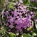 weitere Blumenpracht 1: Stengelloses Leimkraut