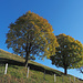 Bergahorne - sie färben sich im Herbst intensiv gelb-orange
