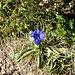 """Am Tag davor ein Stock blühender Alpenrosen, heute Stengelloser Enzian - die Natur ist """"aus dem Tramp"""" gekommen"""