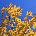Herbstfarbener Ahorn