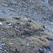 Steinböcke bei ihrer Rast