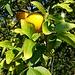 Poncirus trifoliata (L.) Raf.<br />Rutaceae<br /><br />Arancio trifogliato