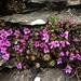 Gegenblättriger Steinbrech (Saxifraga oppositifolia). <br /> <br />Ich bin mir bei der Unterart des Steinbrechs nicht ganz sicher, vielleicht kann mir die Art jemand bestätigen.