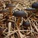 Pilze im Bannwäldli.<br /><br />Milder Zapfenrübling (Strobilurus stephanocystis). Die Art ist essbar.
