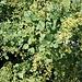 <b>Scotano</b> (Cotinus coccygira). <br />Lo scotano o sommaco è un fitto arbusto che può raggiungere anche qualche metro di altezza. Abita i pendii aridi e rocciosi che ravviva in autunno con la bella colorazione rossastra delle foglie.<br />
