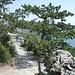 <b>Pino nero</b> (Pinus nigra).