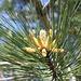<b>Pino nero</b> o <b>Pino d'Austria</b> (Pinus nigra).<br />Qui si vedono le gialle infiorescenze maschili.
