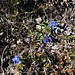 Zu meiner Überraschung gab es doch einige Frühlingsenziane zu sehen, und dies Mitte Oktober!<br />---<br />Surprisingly, I spotted quite a few spring gentians - in mid October!