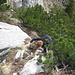 Aufstieg über Südostseite Richtung Stauberenchanzel - Legföhren dienen als Haltegriffe