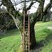 Kurz vor dem Steiwändli 1203: Unspektakulärer Baum mit Leiter, aber... siehe nächstes Foto...