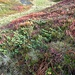 Das Grün des Wacholder hebt sich vom Herbstrot ab