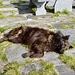 Artus döst an der Mittagssonne vor der Ribia Hütte.