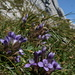 One of the few blooming flowers at this time of the year at this altitude, Gentiana ramose (Reichästiger Enzian) and Altmann in the back
