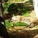 auch der Puma hält Siesta