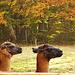 zwei Lamas, nein ich habe keinen Schnaps getrunken und sehe doppelt