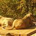Löwen Lady ganz aufmerksam