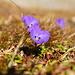Langsporn-Veilchen (Viola calcarata) im Aufstieg zum Rothorn