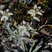 Verblühte Edelweiss