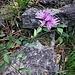 Centaurea jacea L.<br />Asteraceae<br /><br />Fiordaliso stoppione<br />Centaurée jacée<br />Wiesen-Flockenblume