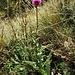 Carduus defloratus L.<br />Asteraceae<br /><br />Cardo dentellato<br />Chardon décapité<br />Langstielige Distel, Berg-Distel