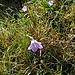 Campanula rotundifolia L.<br />Campanulaceae<br /><br />Campanula soldanella<br />Campoanule à feuilles rondes<br />Rundblättrige Glockenblume