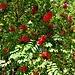 Sorbus aucuparia L.<br />Rosaceae<br /><br />Sorbo degli uccellatori<br />Sorbier des oiseleurs<br />Vogelbeerbaum, Eberesche