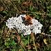 Achillea millefolium L.<br />Asteraceae<br /><br />Millefoglie<br />Achillée millefeuille<br />Gewöhnliche Wiesen-Schafgarbe