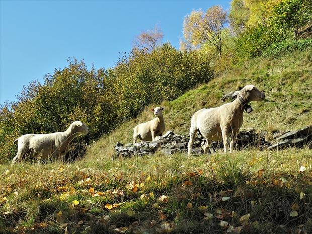 Pecore in Val Malvaglia.