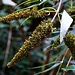 Früchte vom Schmetterlingsflieder (Buddleja davidii) im Wald oberhlab Bachenbülachs.