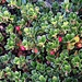 Immergrüne Bärentraube (Arctostaphylos uva-ursi)