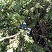 Echter Wacholder (Juniperus communis)