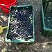 San Genesio - raccolta olive a Giovenzana