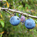 2018 was a good year for fruits of all kind. Here: Sloe (Schlehen)