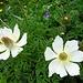 Blumenpracht unterwegs 10 - im beginnenden Verblühstadium