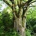 stattlicher Baum