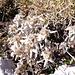 Die ganzen Hänge sind dicht bedeckt mit Edelweiß-Pflanzen.